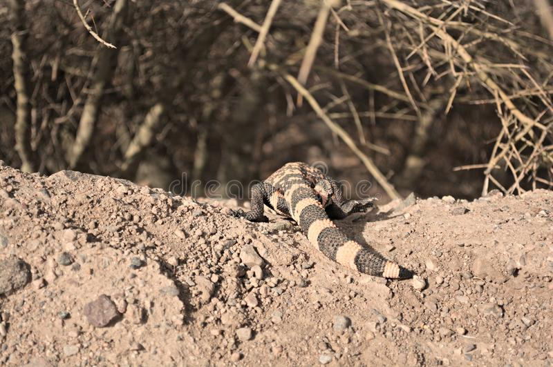 The back of a crawling Gila Monster. stock image