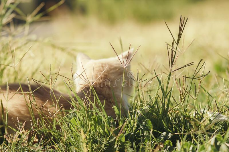 Back of cute kitten walking in nature, a red cat lies on the green grass and basks in the sun outdoors stock photography