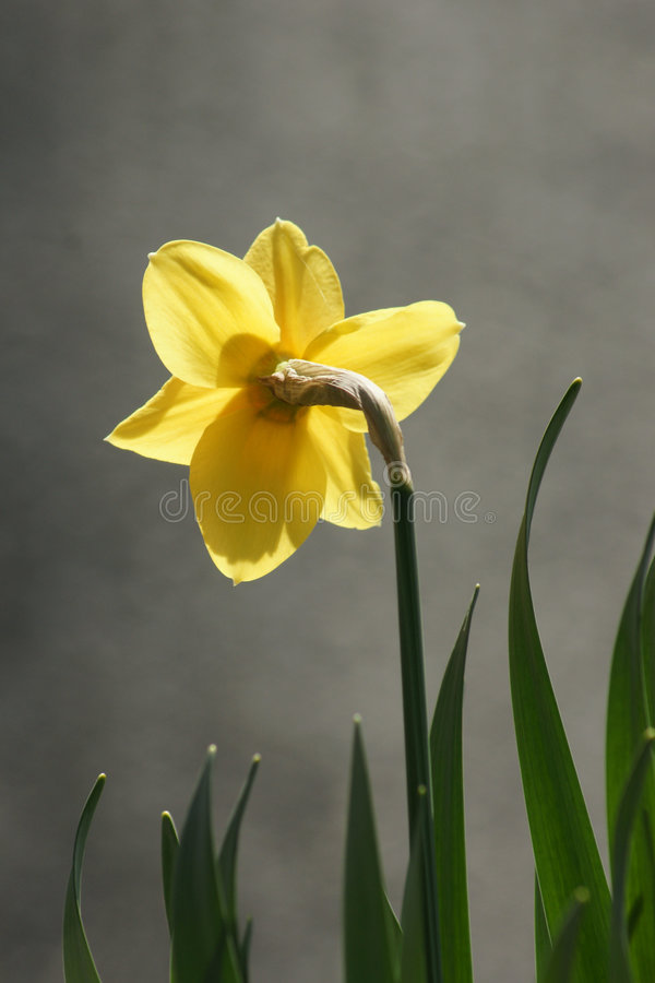 Back of the Daffodil royalty free stock image