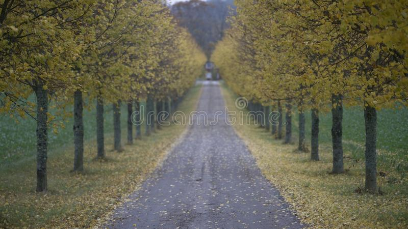 Back drop. Yellow leaf trees /autumn / fall. Fall off focus. Back drop photo, yellow leaf trees with fall off focus. Dirt road royalty free stock photo