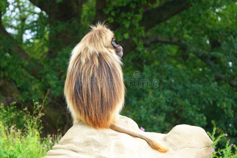 Gelada monkey sitting on rock. The back of a Gelada baboon or Bleeding heart monkey Theropithecus gelada sitting on a rock stock photography