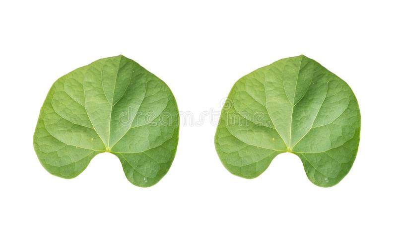 Back of pair green foliage tropical on white backgrounds royalty free illustration