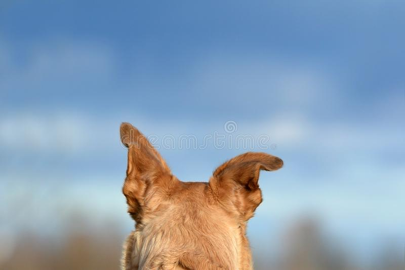 Back of the head with floppy ear of a light brown shepherd mix dog in front of blue sky stock photos