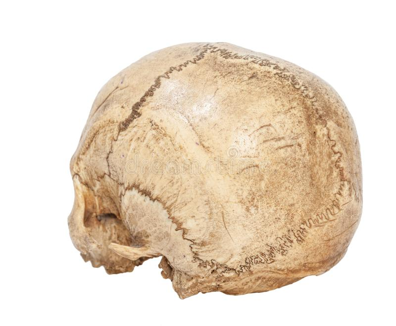 Back of Human Scull. One old jawless Human Scull isolated on white stock photo