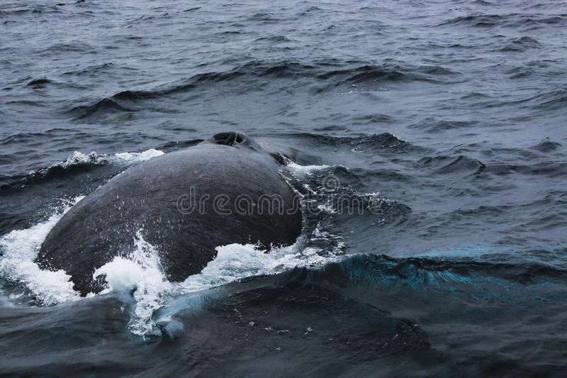 The back of a humpback whale, Megaptera novaeangliae, showing scars and the blow hole stock images