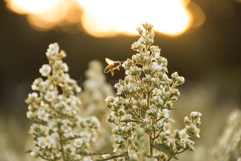 Back-lit Bee Feeding. Bees are flying insects closely related to wasps and ants, and are known for their role in pollination and for producing honey and beeswax stock photos
