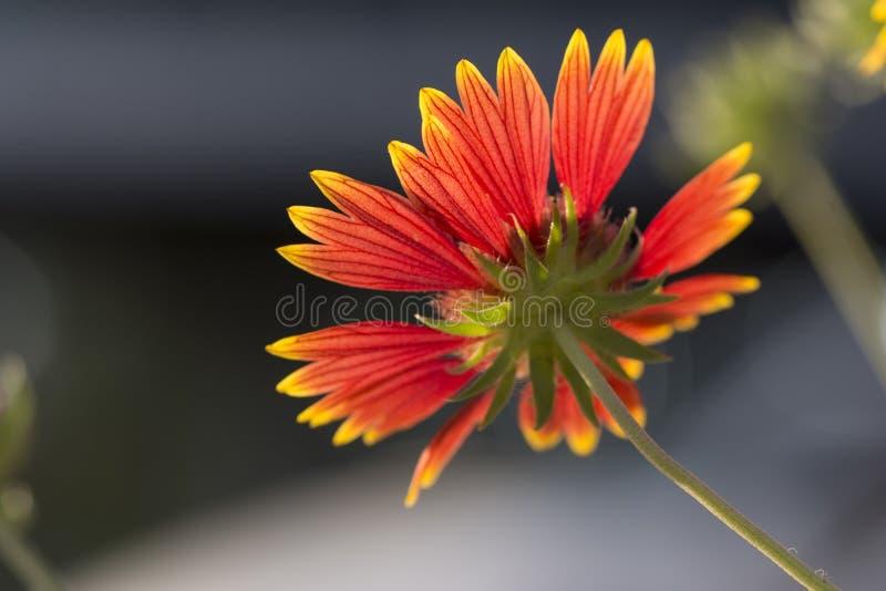 Back-lit bloem voor donkere achtergrond royalty-vrije stock fotografie
