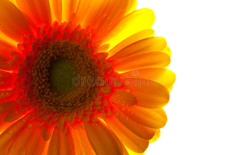 Back lit gerbera flower stock photography