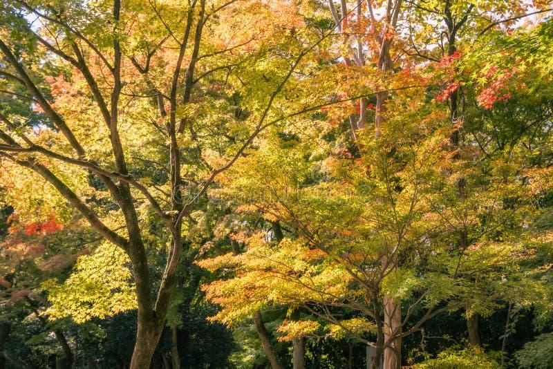 Back lit trees at Kiyomizu Garden in autumn royalty free stock images
