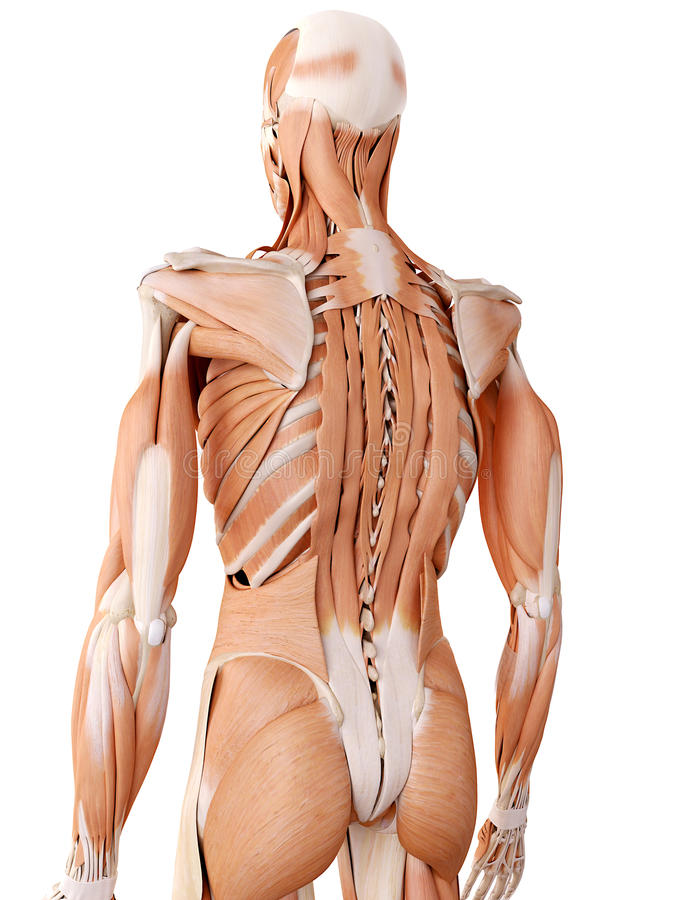 The back muscles. Medically accurate anatomy illustration - back muscles royalty free illustration