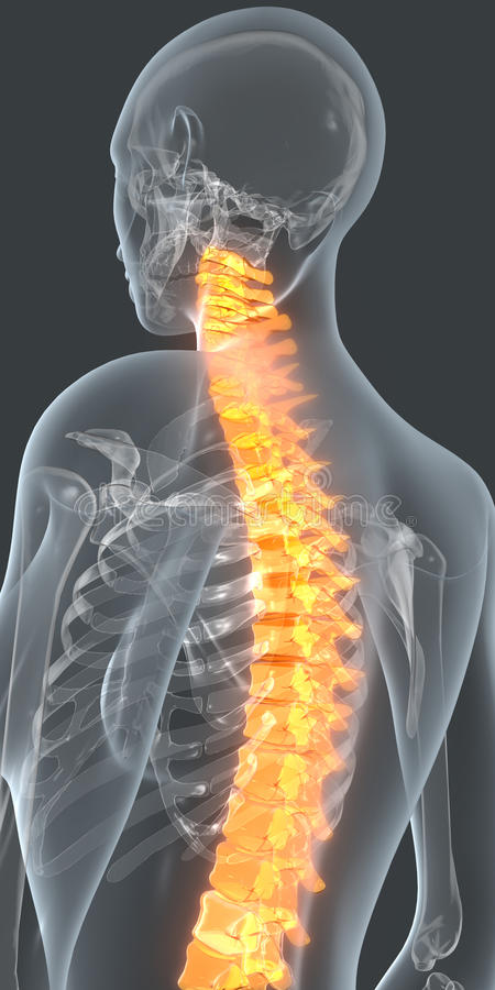 Back pain. Image of the skeleton inside a transparent female body. The spine is highlighted in orange to simulate back pain stock illustration