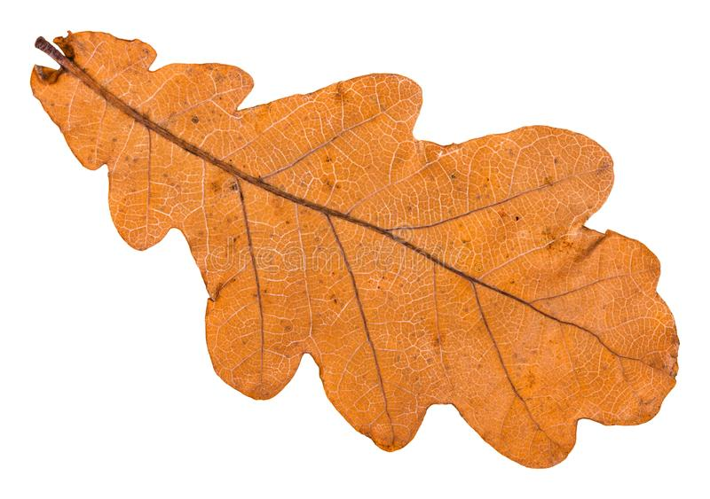 Back side of autumn fallen leaf of oak tree. Isolated on white background stock photos