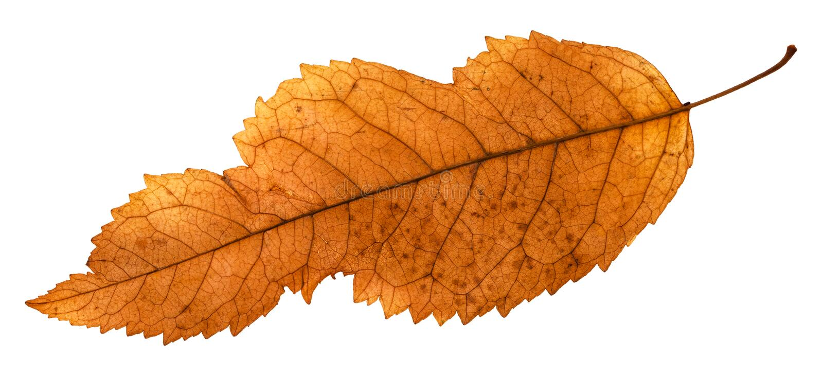 back side of broken leaf of ash tree isolated royalty free stock images