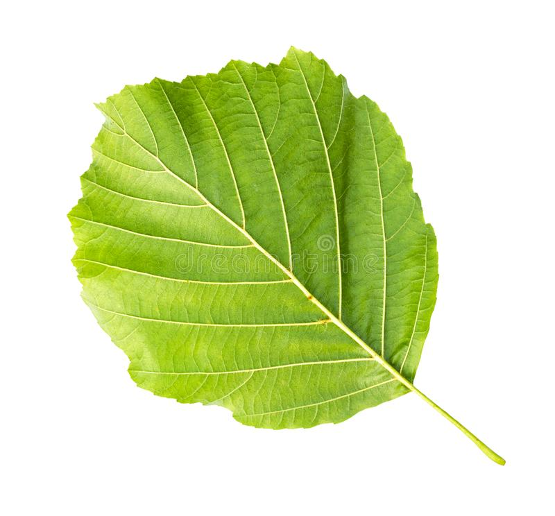 Back side of fresh green leaf of alder tree. Cut out on white background stock photography