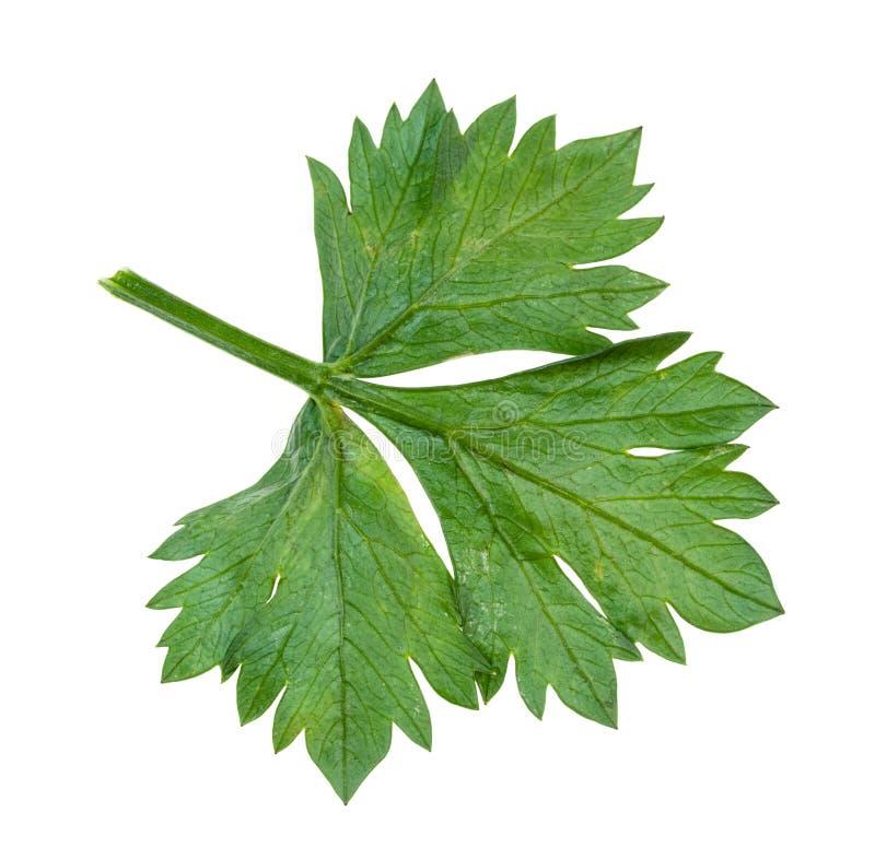 Back side of green leaf of celeriac (celery. Apium graveolens var rapaceum) plant cutout on white background stock photos