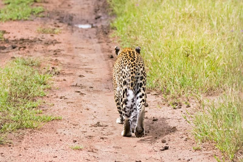 Back side of Leopard showing tail, paw walking at Serengeti National Park in Tanzania, East Africa royalty free stock image