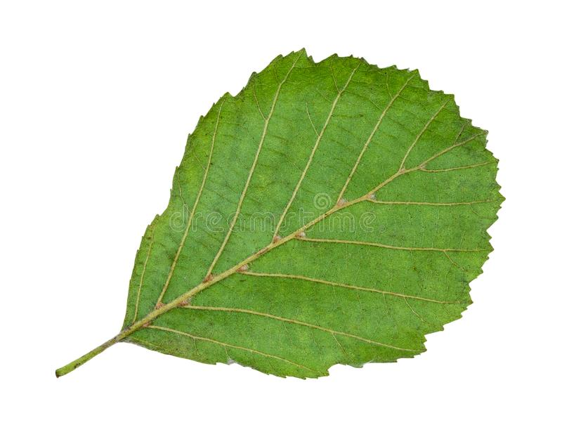 Back side of natural green leaf of alder tree. Cutout on white background stock photography