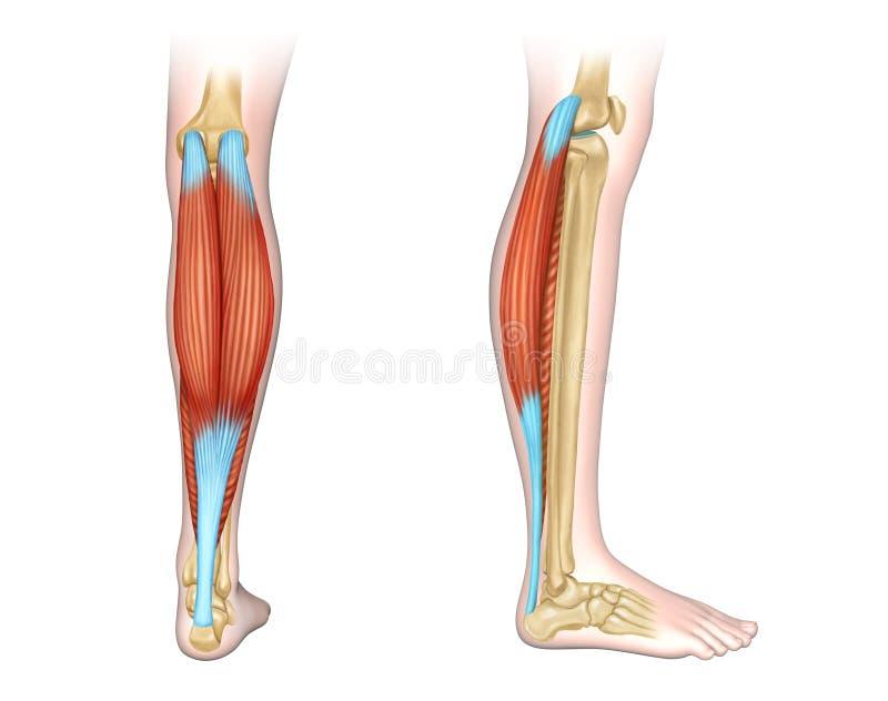 Calf Muscles Diagram Stock Illustration  Illustration Of