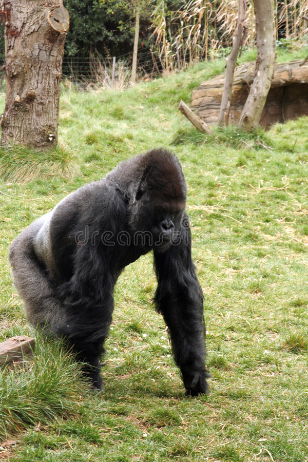 Download Back silver gorilla stock photo. Image of monkey, africa - 4860476