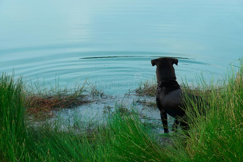 Back of standing black dog near the lake water with green grass nature background stock images