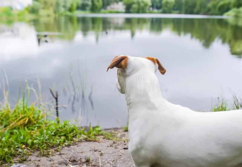 Back of standing small dog near the lake water with green grass nature background royalty free stock images