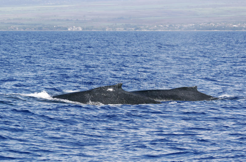 Back Of Two Humpback Whale Royalty Free Stock Photo