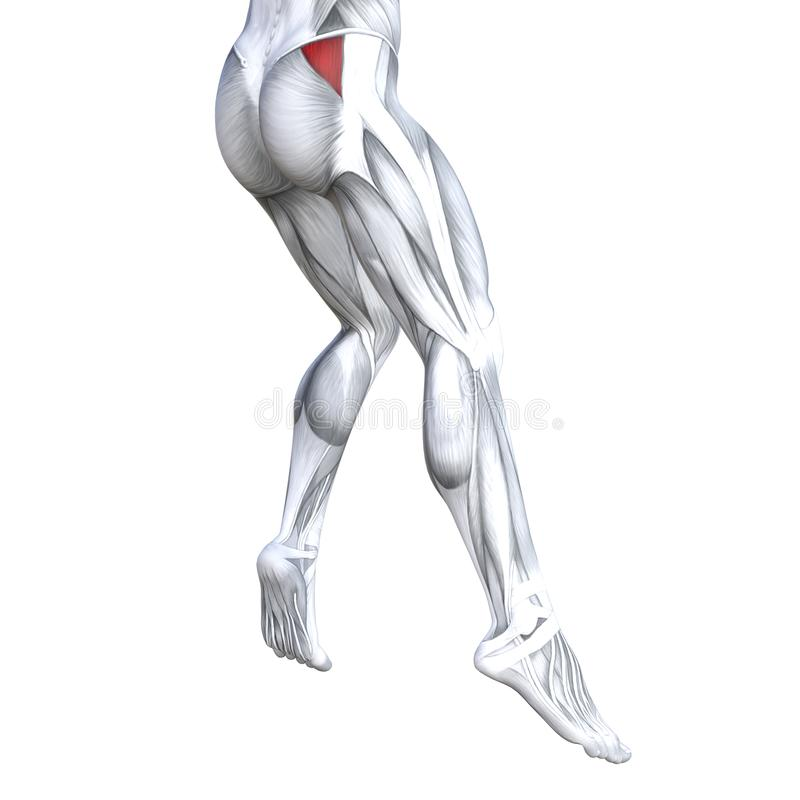 Back upper leg human anatomy. Concept conceptual 3D illustration fit strong back upper leg human anatomy, anatomical muscle isolated white background for body stock illustration