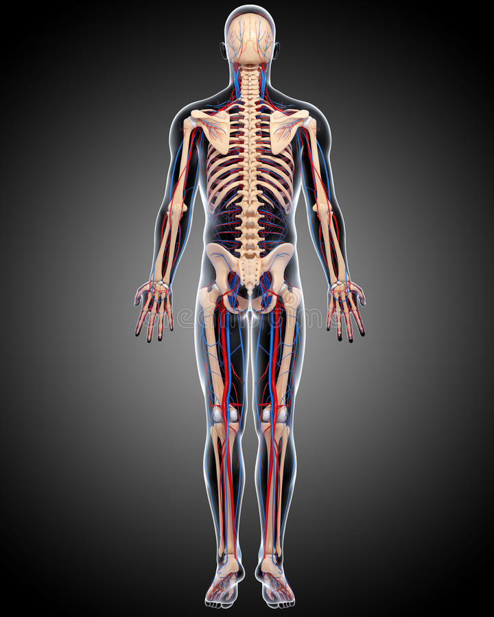 Download Back View Of Circulatory System Of Male Body Stock Illustration - Image: 26593102