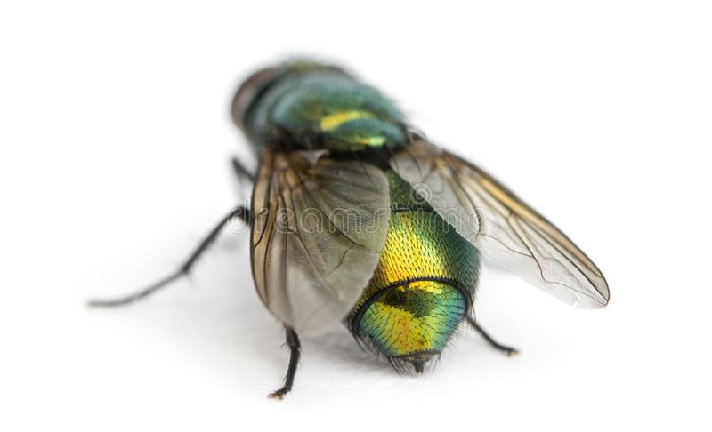 Back view of a Common green bottle fly, Phaenicia sericata stock image