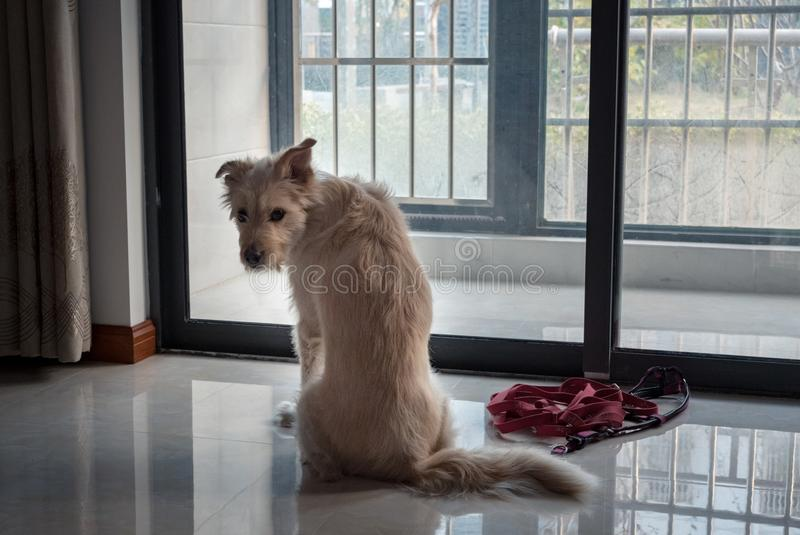 Back view dog waiting for a walk near glass door royalty free stock image
