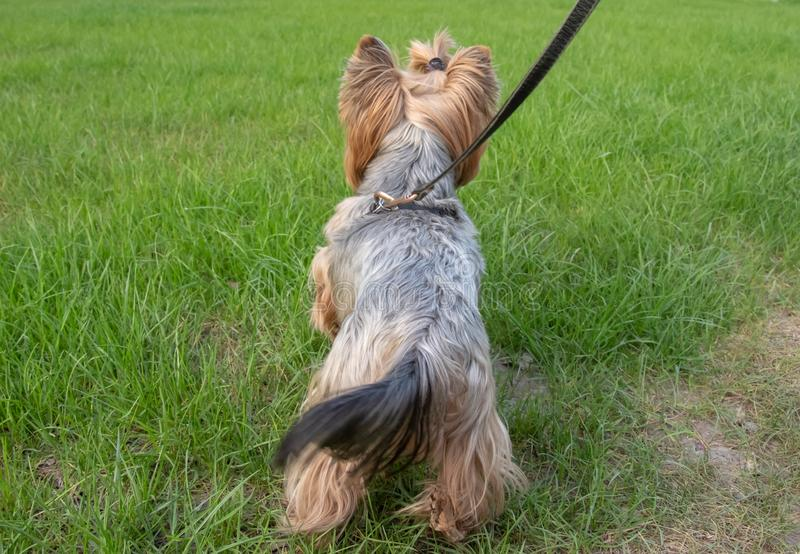 Back view of dog yorkshire terrier stock photo