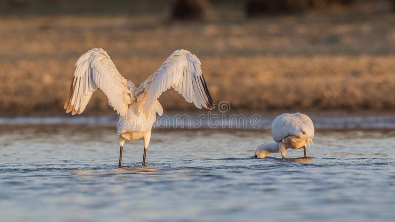Eurasian Spoonbill Flapping Wings stock photography