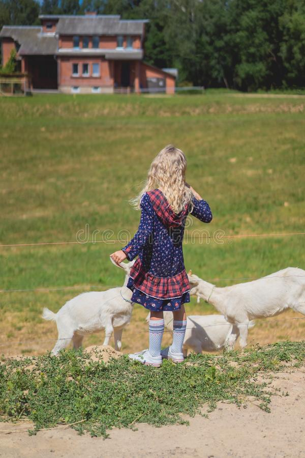 Back view of kid playing with goats. At farm royalty free stock photography