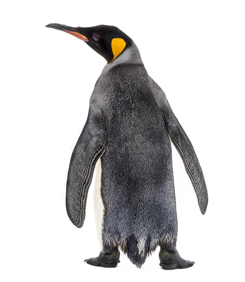 Free Back View Of A King Penguin Royalty Free Stock Photo - 176178985