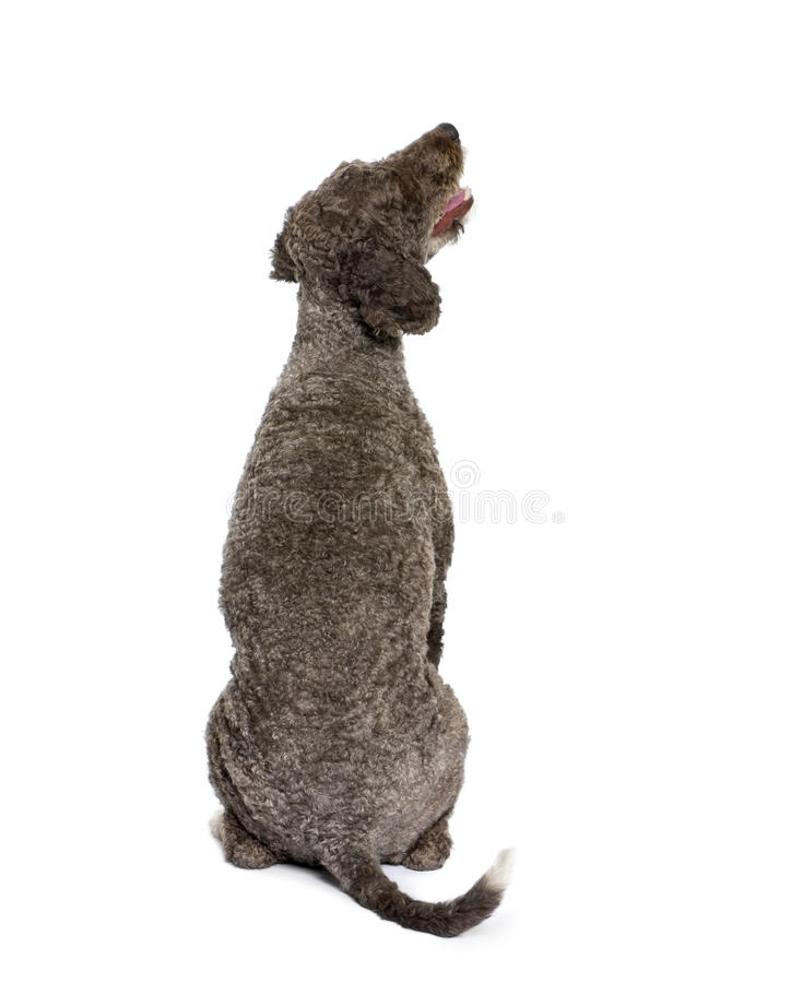 Back view of a Rear view of Spanish water spaniel. Rear view of Spanish water spaniel dog, 3 years old, sitting in front of white background royalty free stock image
