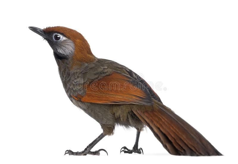 Back view on a Red-tailed Laughingthrush - Garrulax milnei. Isolated on white royalty free stock image