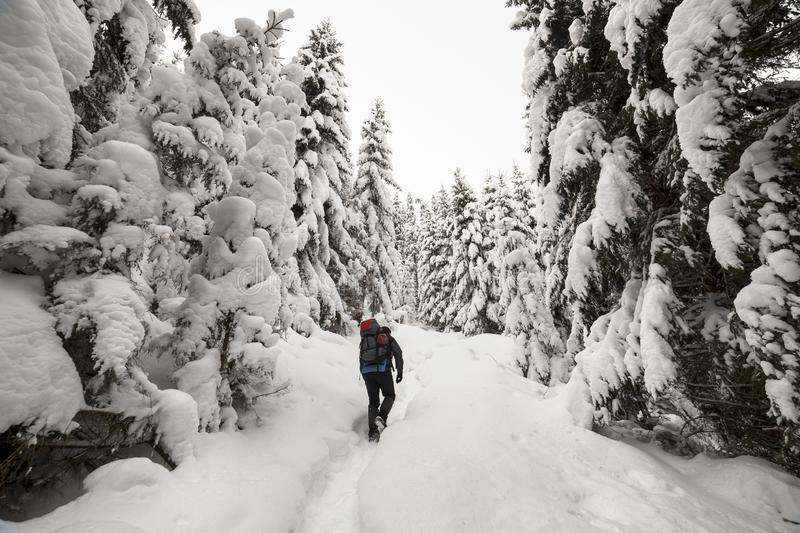 Back view of tourist hiker with backpack walking in white clean deep snow on bright frosty winter day in mountain forest with tall. Dark green spruce royalty free stock image
