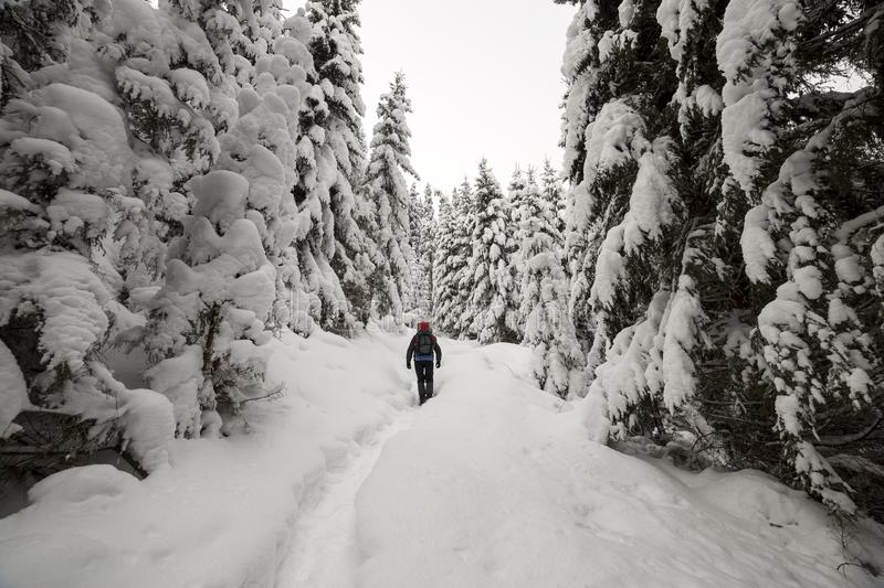 Back view of tourist hiker with backpack walking in white clean deep snow on bright frosty winter day in mountain forest with tall. Dark green spruce royalty free stock photo