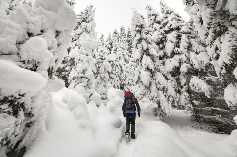 Back view of tourist hiker with backpack walking in white clean deep snow on bright frosty winter day in mountain forest with tall. Dark green spruce stock photography