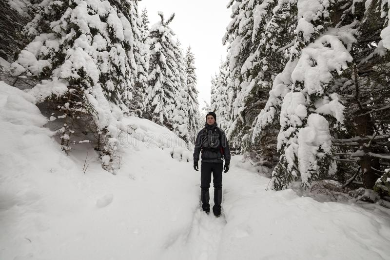Back view of tourist hiker with backpack walking in white clean deep snow on bright frosty winter day in mountain forest with tall. Dark green spruce stock photo