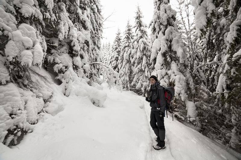 Back view of tourist hiker with backpack walking in white clean deep snow on bright frosty winter day in mountain forest with tall royalty free stock photos