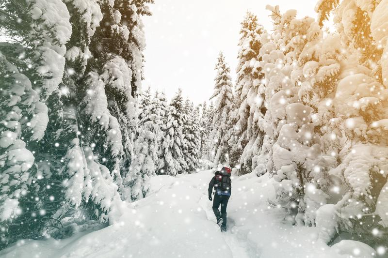 Back view of tourist hiker with backpack walking in white clean deep snow on bright frosty winter day in mountain forest with tall. Dark green spruce stock images