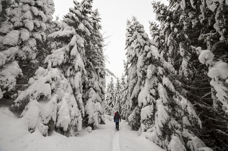 Back view of tourist hiker with backpack walking in white clean deep snow on bright frosty winter day in mountain forest with tall royalty free stock images
