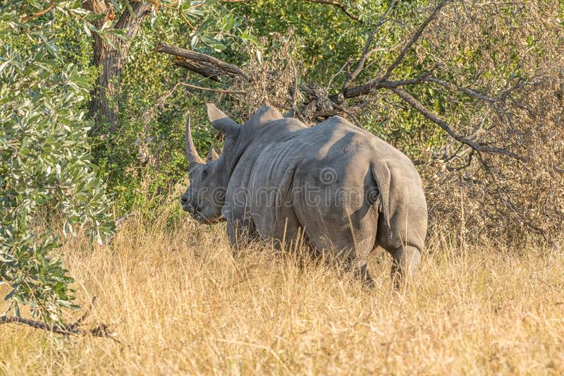 Back view of a white rhino. Ceratotherium simum simum. The tail and horns are visible royalty free stock images