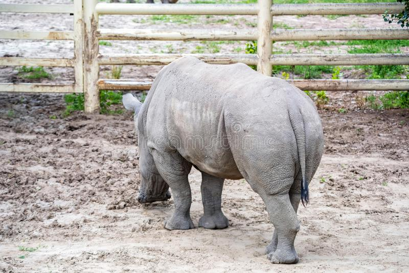 White rhinoceros or Ceratotherium simum grazing in captivity. Back view of White rhinoceros or Ceratotherium simum grazing in captivity in zoo stock image