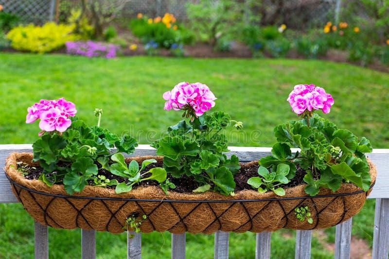 Back Yard Garden Geranium Planter royalty free stock image