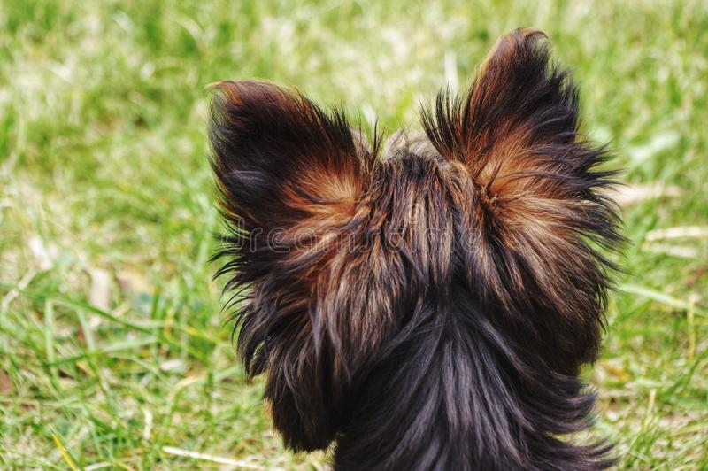 Back of Yorkie head. The back of a Yorkshire puppies head looking off in the distance stock photos