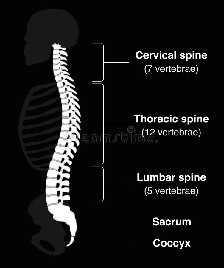 Backbone Black. Human backbone with names of the spine sections and numbers of the vertebras. vector illustration on black background stock illustration