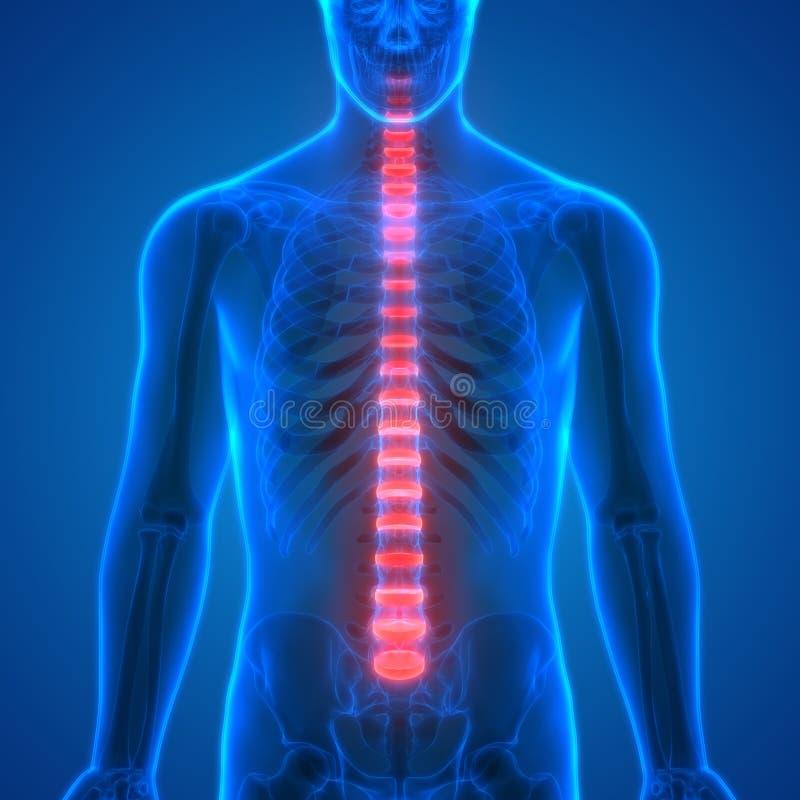 Backbone intervertebral disc anatomy Anterior view. 3D Illustration of Backbone intervertebral disc anatomy Anterior view vector illustration