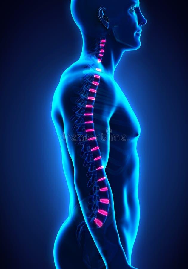 Backbone Intervertebral Disc Anatomy. Illustration. 3D render royalty free illustration